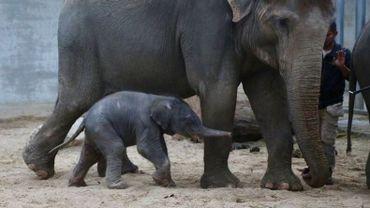 Un éléphanteau mâle d'Asie est né ce mardi à 2H26 au Parc Pairi Daiza