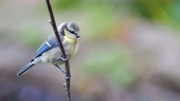 La mésange bleue est la grande absente des jardins