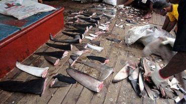Des ailerons de requins saisis sur un chalutier au large des îles Marshall, dans l'océan Pacifique