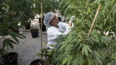 Une horticultrice israélienne cultive du cannabis médicinal, le 1er novembre 2012 dans la serre de Tikkun Olam près de Safed