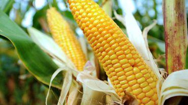La Commission européenne gèle le processus d'autorisations de culture OGM