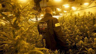 Un policier catalan dans une plantation illégale de marijuana à Martorell, près de Barcelone, le 6 octobre 2020