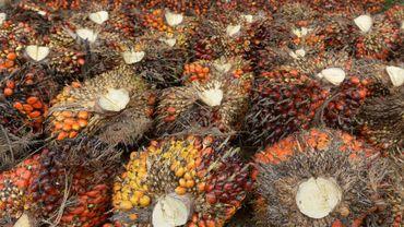 Des fruits de palmiers à huile, le 16 septembre 2015 dans une zone de plantations à Pelalawan, en Indonésie