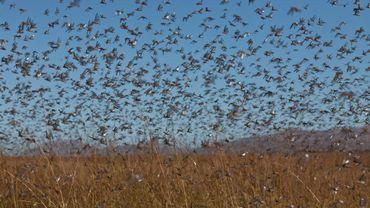Un essaim peut compter jusqu'à 80 millions de criquets pélerins