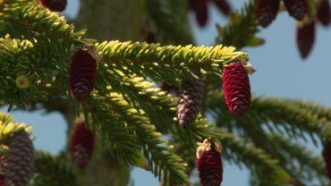Zoom sur le Picea orientalis 'Skylands'