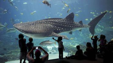 A Atlanta, en Géorgie, on peut même nager avec les requins baleines