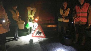 Les bénévoles namurois ont sauvé une centaine de batraciens en migration, rien qu'en une soirée, à hauteur d'une petite route proche du site de Ronchinne (Assesse).