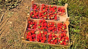 Une tonne de fraises sont récoltées chaque matin.