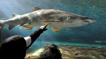 Un requin en captivité dans un aquarium