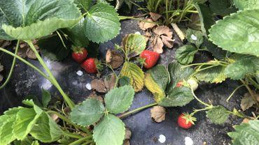 La récolte des fraises est la première qui se profile