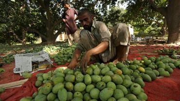Un travailleur journalier examine des mangues avant de les emballer dans une ferme de Multan, dans le centre du Pakistan.
