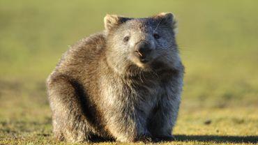 Pourquoi les wombats font-ils des crottes cubiques? La science aurait enfin une réponse!