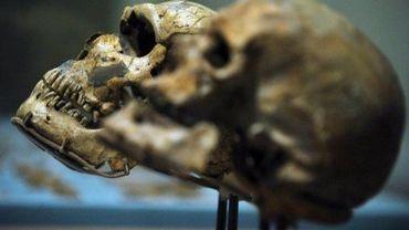 Des crânes d'un homme de Cro-Magnon (d) et d'un homme de Néandertal présentés lors d'une exposition aux Etats-Unis.