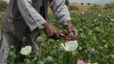 Récolte de pavot pour extraire l'opium
