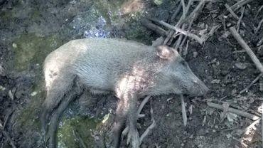 Un sanglier mort de peste porcine africaine - Région de Zlin - Tchéquie