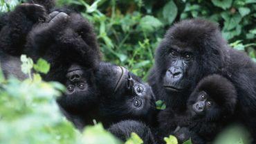 Emoi en RDC à la suite d'un reportage sur les gorilles du Rwanda.