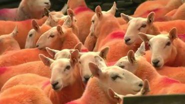 Angleterre: il teint ses moutons en orange pour empêcher leur vol