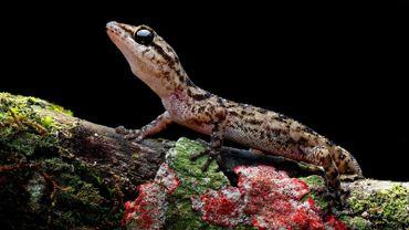 Une des nouvelles espèces de geckos identifiées