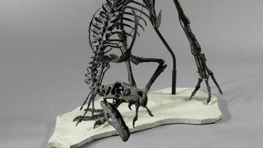 Très rare et exceptionnel petit dinosaure carnivore Ornitholestes, fin du Jurassique (environ 154 millions d'années)