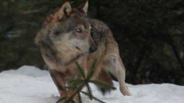 Un loup dans la neige des montagnes italiennes.