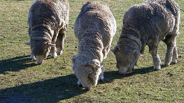 Illustration: moutons merinos
