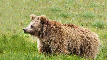 Photo non datée fournie le 29 novembre 2017 par la Snow Leopard Foundation montrant un ours brun de l'Himalaya
