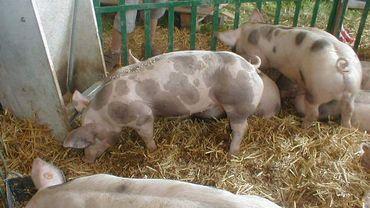 Un programme de cryogénisation pour sauver la race de porc belgian Piétrain