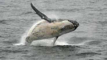Une baleine à bosse photographiée près de la péninsule Antarctique.