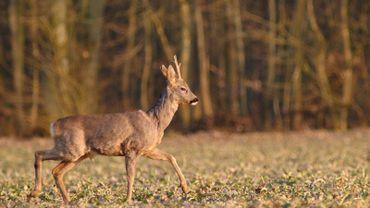 Ce recul de la population de chevreuils peut notamment s'expliquer par la pression liée aux loisirs pratiqués dans la forêt.