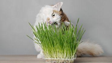 L'herbe à chat pourrait vous servir à autre chose qu'à énerver votre chat