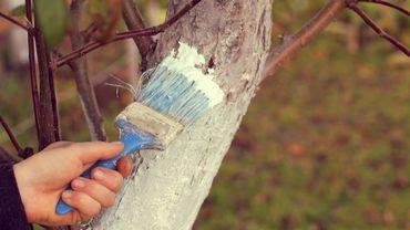 Badigeonnage d'argile d'un tronc d'arbre pour le protéger des parasites.