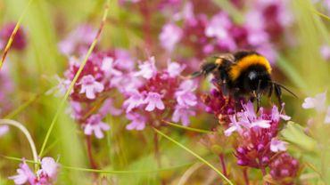 """""""La liste rouge des abeilles"""", un rapport alarmant sur les abeilles sauvages de Belgique"""