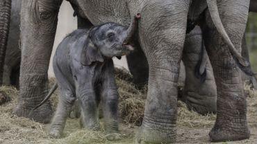 Tarzen, l'éléphanteau du zoo de Planckendael, est mort à tout juste 11 semaines