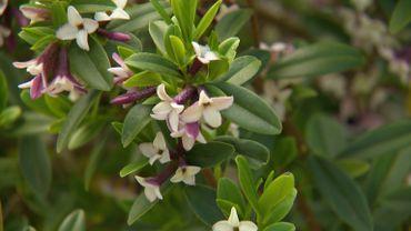 Daphne tangutica - Des fleurs au parfum envoûtant