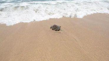 Le climat se réchauffe, les tortues marines changent de sexe