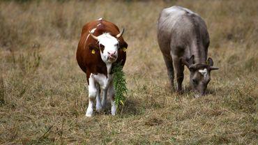 Les chances qu'une vache donne naissance à des quadruplés sont de une sur 11 millions.