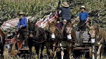Des Amish travaillent aux champs