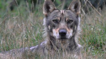 Illustration - Eline Remacle, une habitante de la commune de Durbuy, affirme être tombée nez-à-nez avec deux loups vendredi soir.