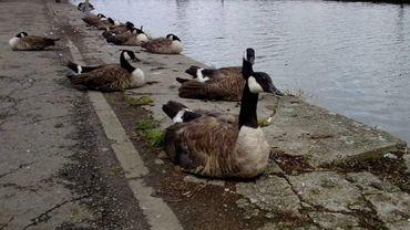 Liège: une centaine d'oies du parc de la Boverie ont été euthanasiées (photo d'illustration)