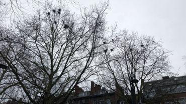 Au sommet des hauts arbres du Square Léopold, des dizaines de nids attendent le retour des corbeaux freux
