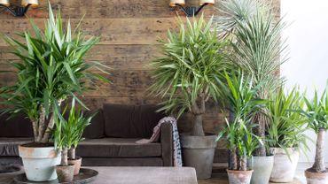 la plante du mois le yucca. Black Bedroom Furniture Sets. Home Design Ideas