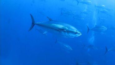 Le secteur de la pêche est parvenu à un accord lundi pour mieux protéger le thon obèse en Atlantique, menacé par la surpêche.