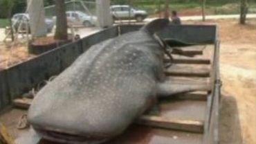 Le requin baleine n'a malheureusement pas pu être remis à l'eau