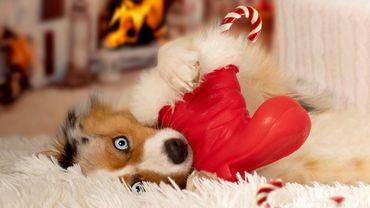 Jouets, friandises, vêtements... Le joyeux Noël des animaux.