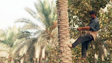 Récolte des dattes dans une palmeraie en Irak