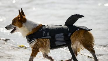 Ville de Bruxelles: une prime pour faire stériliser son chien