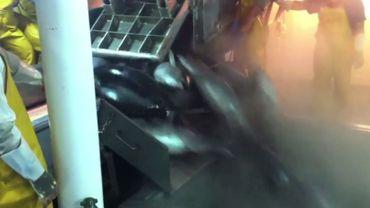 De nombreuses espèces autres que le thon se retrouvent dans les filets des pêcheurs