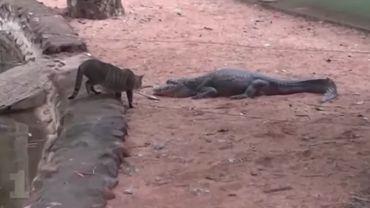 Quand un chat va se nourrir parmi les crocodiles