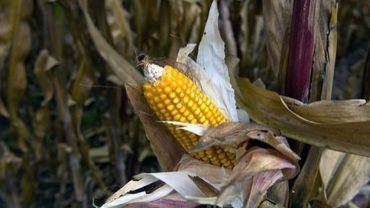 Un maïs transgénique
