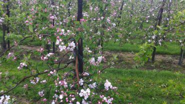 Les pommiers sont déjà en fleurs. Le gel pourrait faire des dégâts